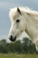 horse, portrait