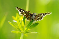 grizzled skipper frontal