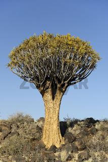 Koecherbaum oder Quivertree (Afrikaans: Kokerboom,  Aloe dichoto