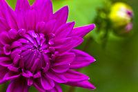 Deep purple dahlia blossom