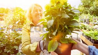 Gärtnerin als Verkäuferin in Gartencenter mit Geranie