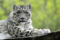 Leopard 007