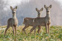 Roe deer herd in spring