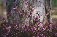 Purple heather flowers, Erica Carnea, in front of tree trunk, Austria