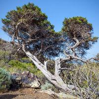 Bent by winds pine tree in El Hierro