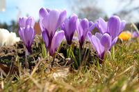 Crocus vernus, Spring crocus