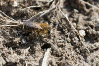 spring mining bee at her nest