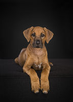 Rhodesian Ridgeback puppy looking at the camera lying down at a black background in a vertical image