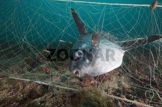 Mondfisch in verlorenem Fischernetz