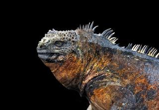 Profile of iguana