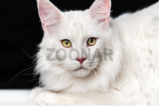 White longhair American Coon Cat. Portrait of cat looking at camera on black and white background