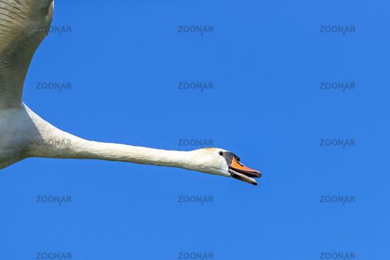 Mute Swan portrait of a flying bird / Cygnus olor