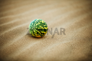 Desert melon (Citrullus colocynthis) on sand