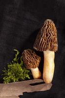 Detail shot of Verpa bohemica - edible and tasty mushroom.