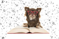 Cute chihuahua dog lying on a red book wearing red glasses with letters floating everywhere isolated on a white background