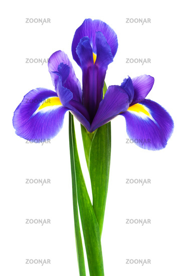 freshness purple iris