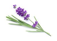 Lavender Flower Isolated Over White Background