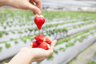 hand holding strawberry  with farm background