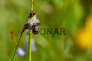 Schaumnest einer Zikade