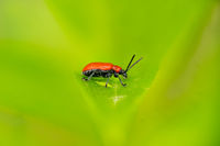 Side view of a small red bacon beetle on a leaf against a blurred green background