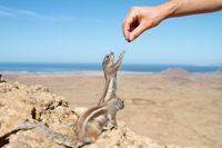 Human hand feeding a squirrel in dry rocky landscape