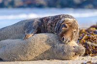 Grey seals mating (Halichoerus grypus) at Heligoland, Germany