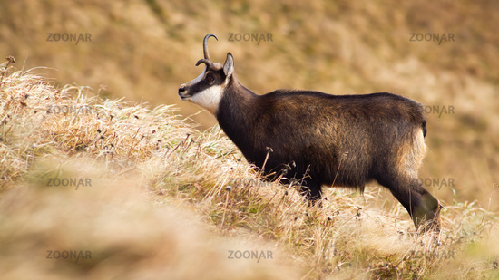 Tatra chamois with a broken antler standing on meadow with dry yellow grass.
