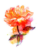 Watercolor vibrant rose drawing on a white background