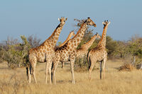 Giraffes (Giraffa camelopardalis) in natural habitat