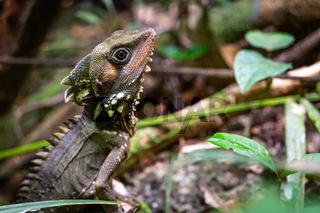 Boyd's Forest Dragon, Hypsilurus boydii, Daintree Rainforest, Cow Bay, Queensland, Australia