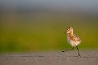chick Black-tailed godwit