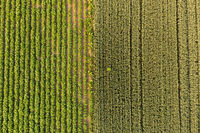 Aerial view of blooming potatoes crops and rye on field