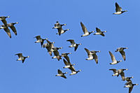 Barnacle Geese flock during the migration