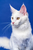 Longhair cat breed American Coon Cat. Portrait of white color female cat on blue background