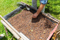 Costa Rica, hands mixing coffee beans
