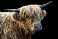 scottish highland cattle 3