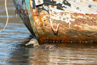 Common Eider - somateria mollissima - female swimming in sea water in front of old abandoned fishing boat
