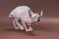 Portrait of blue mink and white color Canadian Sphinx Cat with blue eyes on brown background