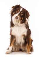Australian shepherd dog sitting isolated on white background