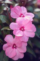 pink flower New Guinea impatiens