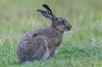 European Hare with a hole in the ear  -  (Brown Hare) / Lepus europaeus