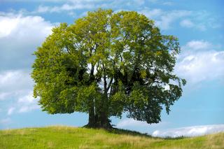 Buche als Einzelbaum