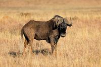 A black wildebeest (Connochaetes gnou) in open grassland