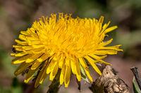 Dandelion flower with little bugs