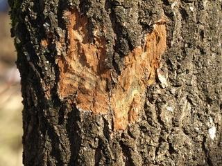 von Biber herzförmig angenagter Baum