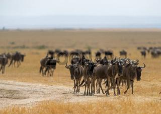 Wildebeest Migration, Maasai Mara, Africa