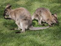 Kaenguru-Doppel