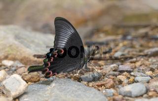 Paris Peacock butterfly Closed winged, Papilio paris, Garo Hills, Meghalaya, India