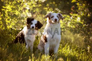 zwei hunde, Australian Shepherd sitzen vor einem blühenden Busch