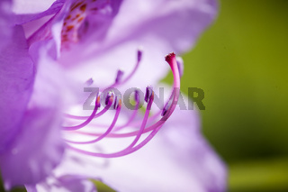 Macro of rhododendron blossom with green